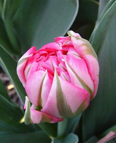 Тюльпан махровый ранний Флеш Поинт