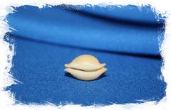 Ципрея кеелингенсис (Cypraea keelingensis chiapponi)