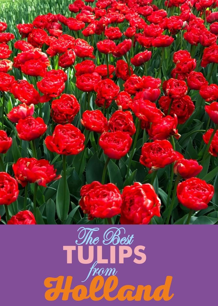 Луковицы Тюльпана Махрового Позднего