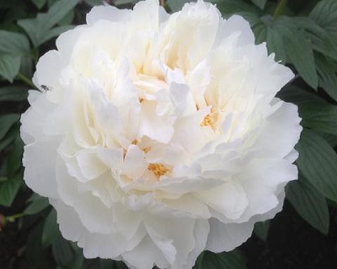 Пион молочноцветковый Боул ов Крим