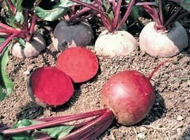 Свекла Монополи семена свеклы (Syngenta / Сингента) Монополи_семена_овощей_оптом.jpg