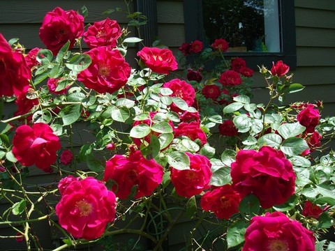 Роза плетистая Дон Жуан (в тубе)