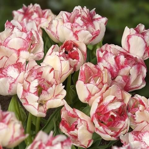 Луковичные Тюльпан многоцветковый  Белиция, 8 шт