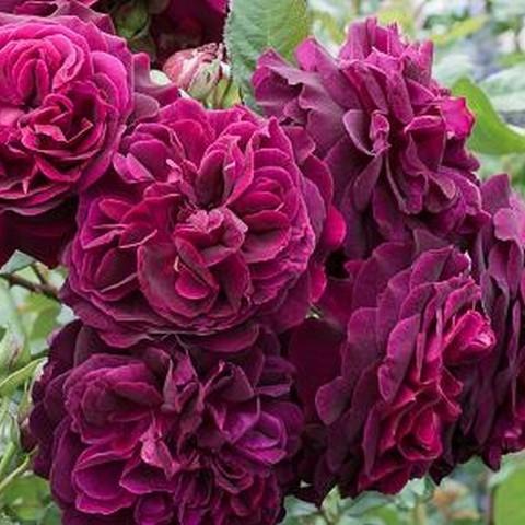 Роза английская душистая Мунстед Вуд С6