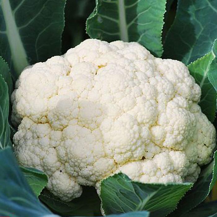 Цветная Уайтэксел F1 семена капусты цветной (Sakata / Саката) white_excel_sakata_.jpg