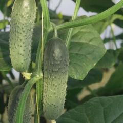 Миамара F1 семена огурца партенокарпического (Rijk Zwaan / Райк Цваан)