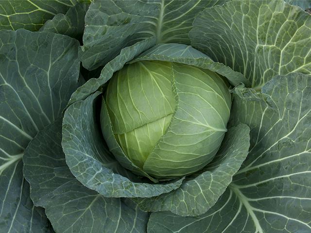 Белокочанная Оутем квин F1 семена капусты белокочанной (Takii / Таки) Оутем_квин_F1.jpeg