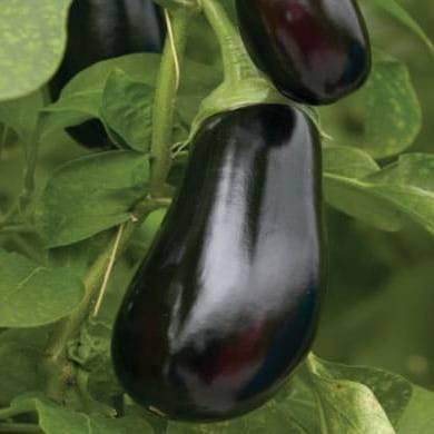 Баклажан Скорпио F1 семена баклажана (De Ruiter Seeds / Де Ройтер Сидс) Скорпио_.jpg