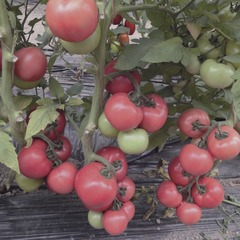 Семена томата Пандароза F1, Seminis, 5 шт.