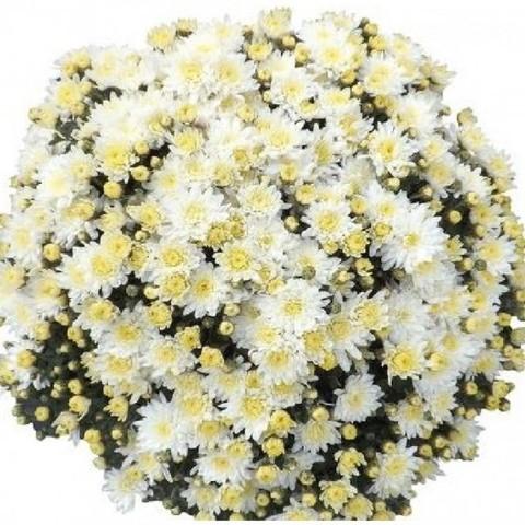 Хризантема мультифлора  Sunbeam White N 2094