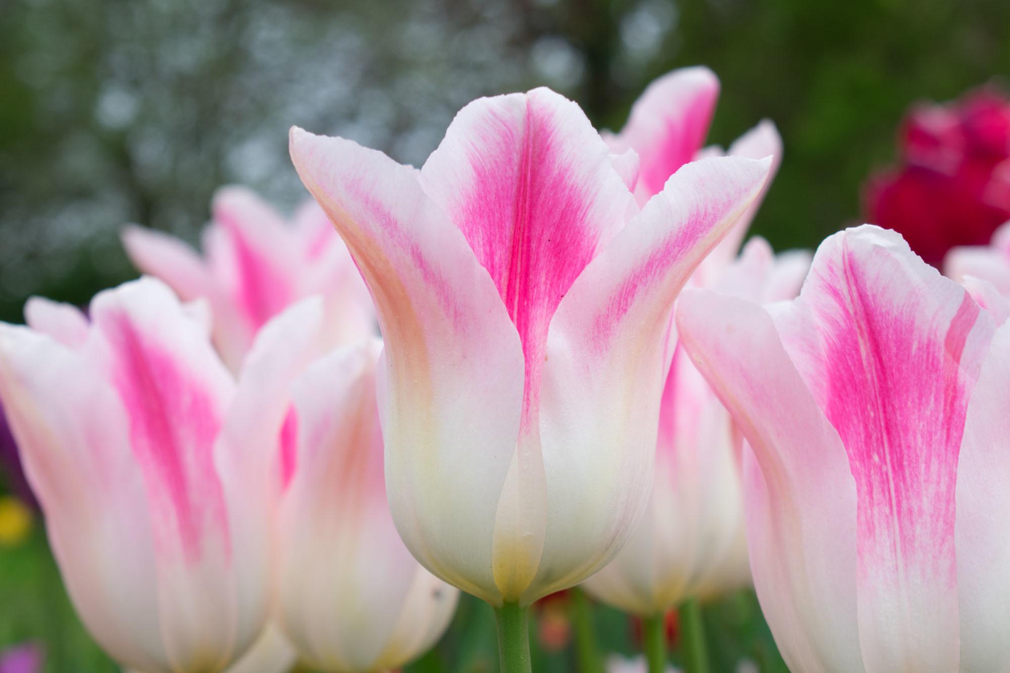 Тюльпан Лилиецветный Холанд Шик