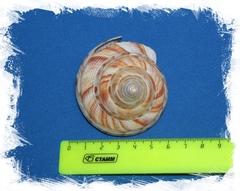 Микадотрохус Хирасе размер