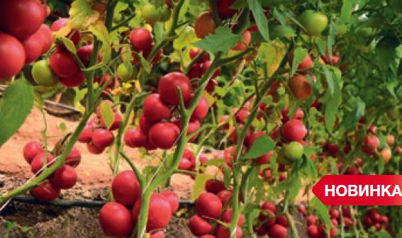 Томат Мамстон F1 семена томата индетерминантного (Syngenta / Сингента) мамстон.PNG