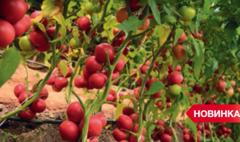 Мамстон F1 семена томата индетерминантного (Syngenta / Сингента)