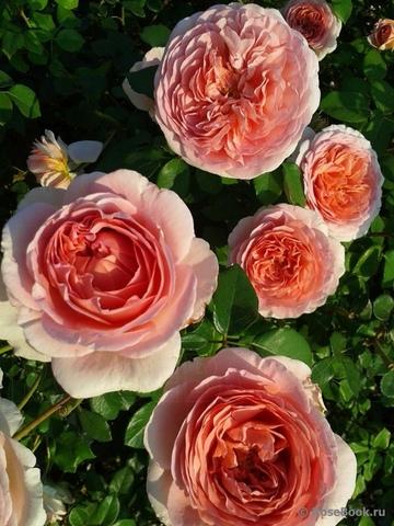 Роза Абрахам Дерби (в тубе)