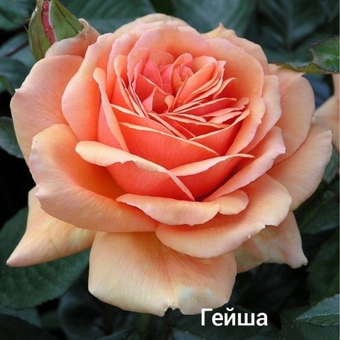 Роза флорибунда Гейша С3