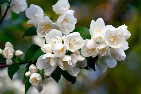 Жасмин садовый (Чубушник) Дам Бланш (Dame Blanche)
