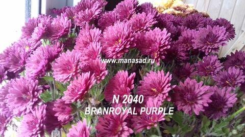 Хризантема мультифлора (шаровидная) Branroyal Purple №2040