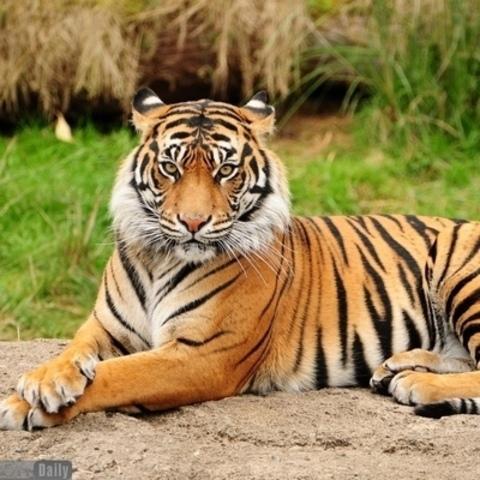 Алмазная Мозаика 40x50 Тигр лежит на земле (арт. GA71290 )