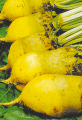 Свекла Кормовая Эккендорфская желтая 1 кг