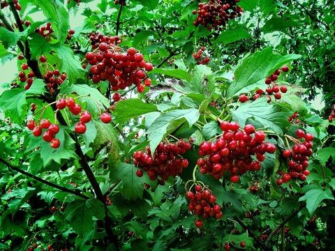 Калина, ягода сушёная