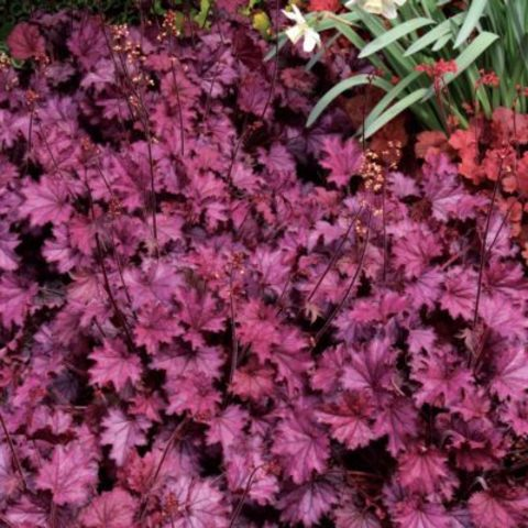 Heuchera LITTLE CUTIES™ 'Frost'