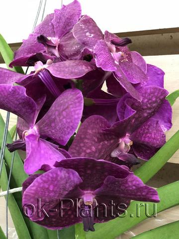 Ванда Пурпурная