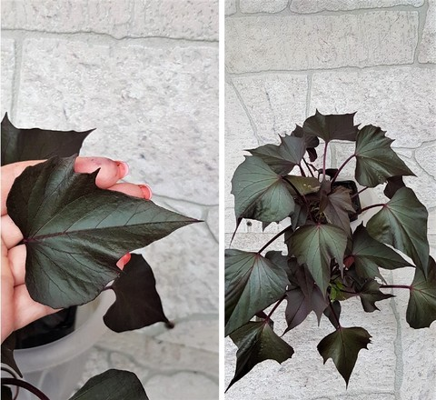 Ипомея potato vine rusty marle leaf