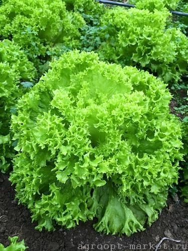 Nunhems Оникс семена салата лолло блонда (Nunhems / Нюнемс) оникс.jpg