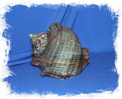 Турбо марморатус (Turbo marmoratus)