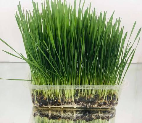 Зелень пшеницы