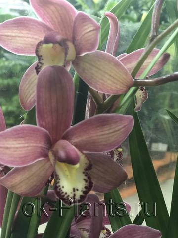 Орхидея Цимбидиум розовая, 2 ветки