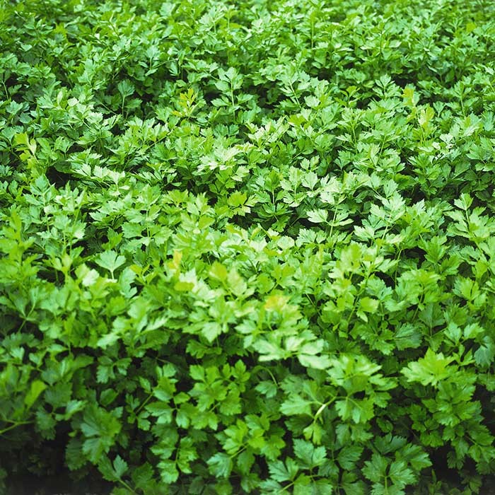 Сельдерей Афина семена сельдерея (Bejo / Бейо) Афина_1.jpg