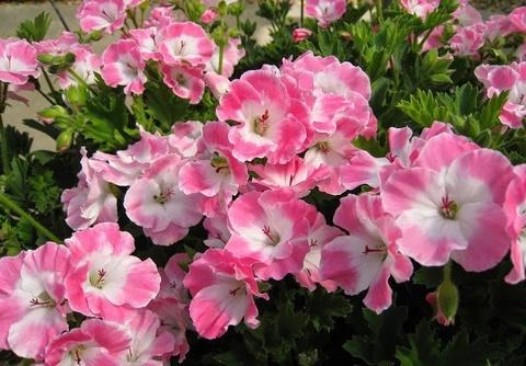 Пеларгония PAC Bermuda Pink