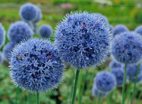 Голубой аллиум или лук декоративный (5 шт.в упаковке) _ sadguru
