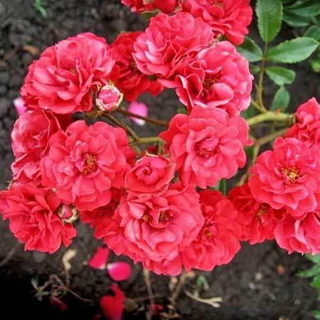 Роза плетистая Скарлет Мейяндекор
