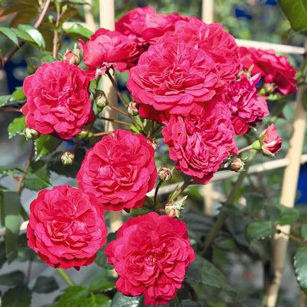 Роза плетистая Scarlet Meillandecor