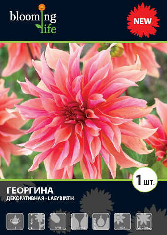 Георгина декоративная Лабиринт