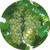 ХМЭЛЬ (вино), для белых вин