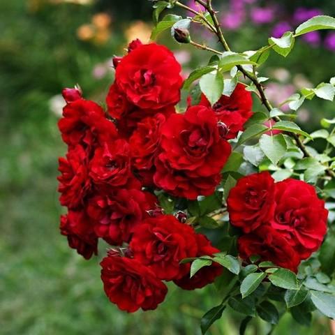 Роза плетистая Амадеус С3