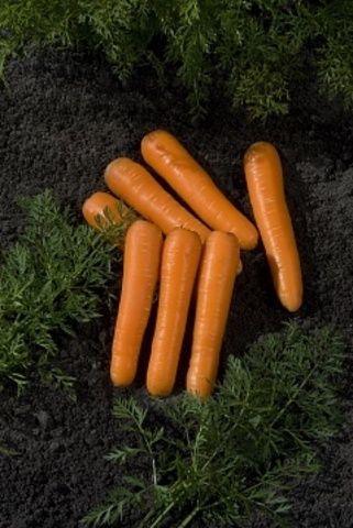 Нантская Концерто F1 семена моркови нантской (Vilmorin / Вильморин) Концерто_F1_семена_овощей_оптом.jpg
