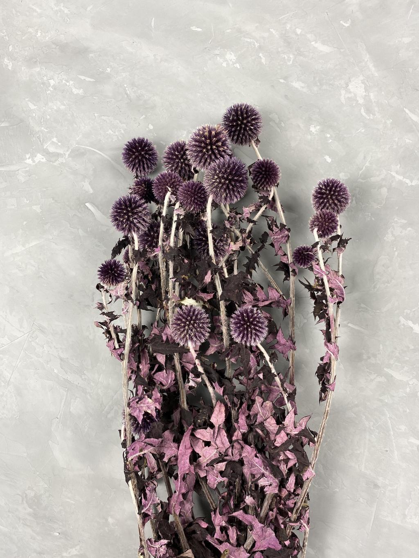 Эхинопс стабилизированный фиолетовый