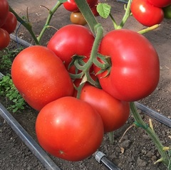 Рестлер F1 семена томата индетерминантного (Seminis / Семинис)