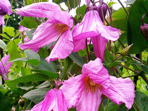 Клематис ботанический (сорт, пригодный для срезки) Алёнушка