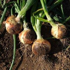 Утреро F1 семена лука репчатого (Nunhems / Нюнемс)