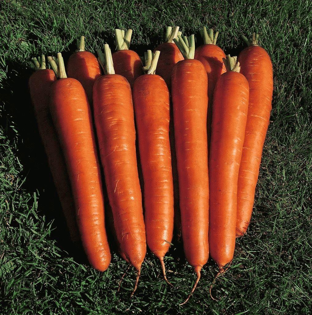 Нантская Мирна F1 семена моркови нантской (Seminis / Семинис) Мирна_семена_овощей_оптом_семена_овощей_оптом_семена_овощей_оптом_семена_овощей_оптом.jpg