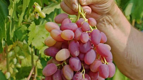 Виноград плодовый Юбилей Новочеркаска (в тубе)