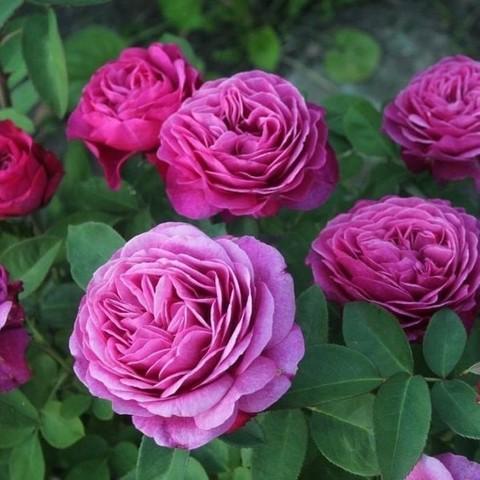 Роза чайно-гибридная Клод Брассер С3