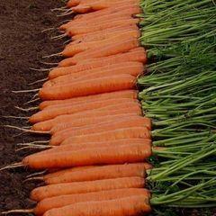 Монанта семена моркови нантской (Rijk Zwaan / Райк Цваан)