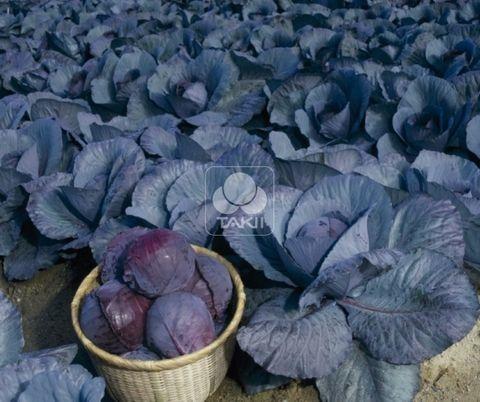 Краснокочанная Руби Перфекшн F1 семена капусты краснокочанной (Takii / Таки) Руби_Перфекшн_F1_семена_овощей_оптом.jpg